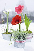 An arrangement of various amaryllis flowers in metal pots