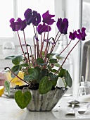 Flowering alpine violets in a folded metal bowl