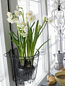 White 'Bridal Crown' narcisi in a wire basket next to a window