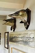 Präparierte Fischköpfe an der Wand