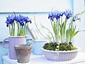 Krüge und Schalen mit eingepflanzten lila Iris stehen auf einer Ablage im Freien