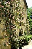 A natural stone facade with climbing roses