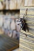 A dark brown beetle with long feelers