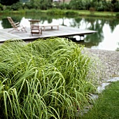 Decorative grass planted on the bank of a lake