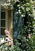 Weissblühende Kletterpflanze vor dem Fenster