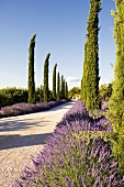 A cypress alley with lavender growing at the side of the road