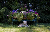 Flowers on a blue bench and a dog in the garden