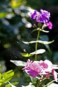 Spinnennetz mit Spinne auf einer Blume