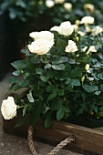White roses potted stored within a small wooden crate with rope handle