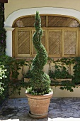 Potted topiary plant in a spiral form on a Mediterranean terrace