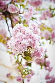Blooming ornamental cherry tree