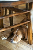 Dog asleep beneath wooden chair
