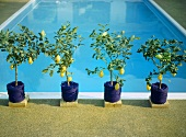 An outdoor swimming pool, with lemon trees in pots at the edge of the pool