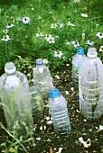 Plastikflaschen schützen die Sätzlinge im Garten