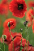 Red poppies and poppy seed heads