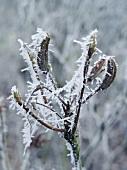 Winterlicher Ast mit Eiskristallen