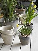 Narcissi in flowerpots