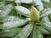 Rhododendron mit Eiskristallen