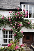 Üppig blühende, pinkfarbene Kletterrose an weiss geschlemmter Fassade eines alten Landhauses