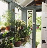 Zimmerpflanzen in Töpfen in traditioneller Veranda mit offener Haustür
