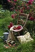 Alter Holzstuhl mit Äpfel und Tischtuch dekoriert vor Rosenbusch
