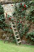 Holzleiter vor roten Kletterrosen auf Ziegelmauer