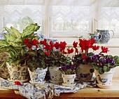 Rote Alpenveilchen und Usambaraveilchen in weiss blauen Töpfen