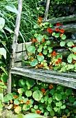 Rustikale Holzbank im Garten mit Kapuzinerkresse