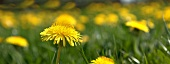 A panoramic picture of dandelions