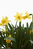 Spring Daffodils; White Background