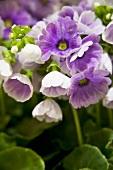 Purple German primroses