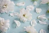 White delphiniums (close-up)