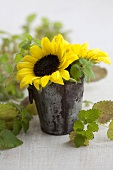 Sunflowers and lemon balm in a metal bucket