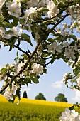 A branch of a flowering apple tree in front of a rape field in Spessart