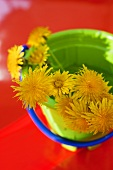 Dandelions in a green toy bucket