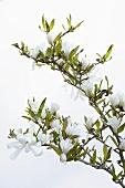 A sprig of star magnolia