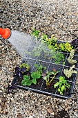 Young plants being watered with a hosepipe