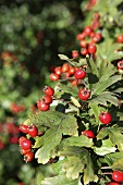 Hawthorn with berries