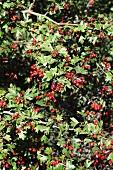A hawthron bush