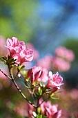 Pink Azaleas Blooming