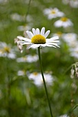 Marguerites in a meadow
