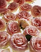 Pink roses (Rosa spp.)