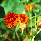 Nasturtium flowers in the open air