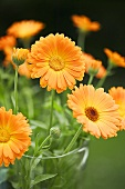 Marigolds in a vase