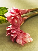 Two pink ginger flowers