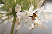 A white African lily with a bumble-bee