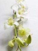 A flowering orchid stem