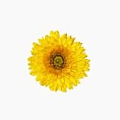 Gelbe Ringelblumenblüte