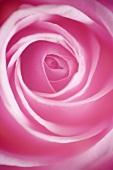 Pink rose (detail)