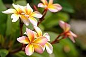 Plumeria (Frangipani or Leelawadee)